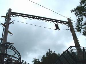旭山動物園。オランウータンが高さ16mの梁をわたっている場面。