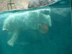 旭山動物園、シロクマ館。ガラス張りの観察室。 ガラスは薄いガラスが幾重にも貼られたもので、500kgの物体が 時速40kmで衝突しても割れないという。